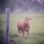Ich will Kühe!