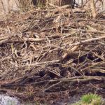 Ein Biberbau, rund um den See im Grumsiner Forst haben wir drei davon entdeckt.