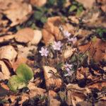 In Botanik war ich während meines Biologiestudiums ja nicht da oder habe mir zumindest große Mühe gegeben, alles wieder zu vergessen. Deshalb mussich nachschlagen, wenn wir mal eine hübsche Blume sehen. Voila: Leberblümchen (Hepatica nobilis)